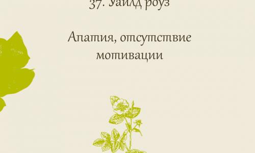 37.Wild rose (Шиповник собачий)